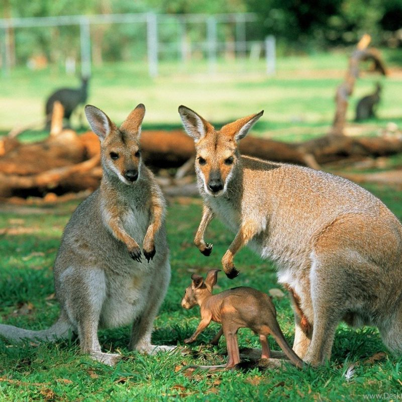 590906_australia-scenery-kangaroo-wallpaper_1600x1200_h