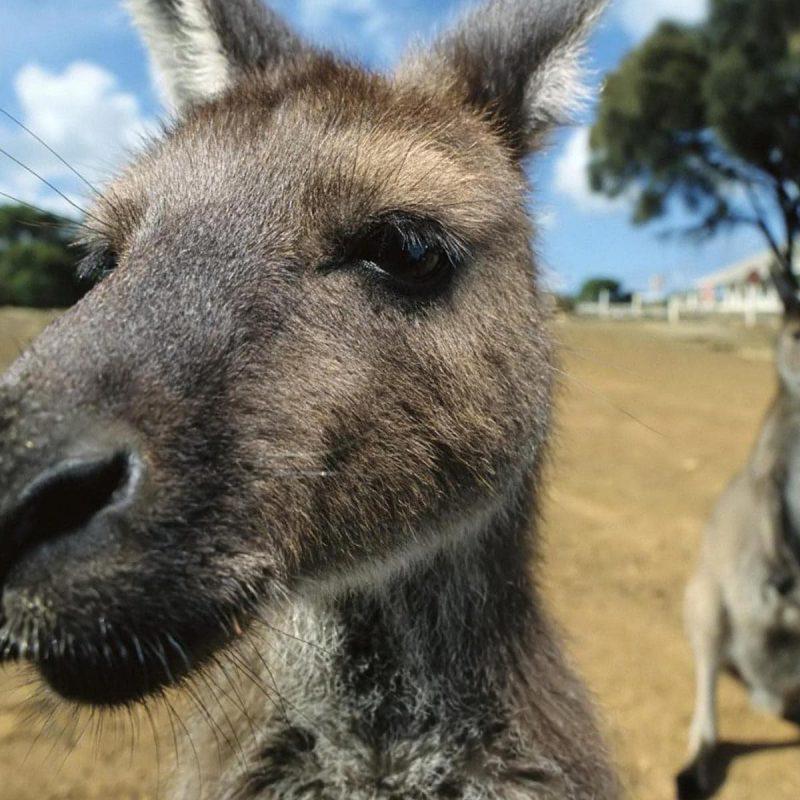Kangaroo-7WA0019040