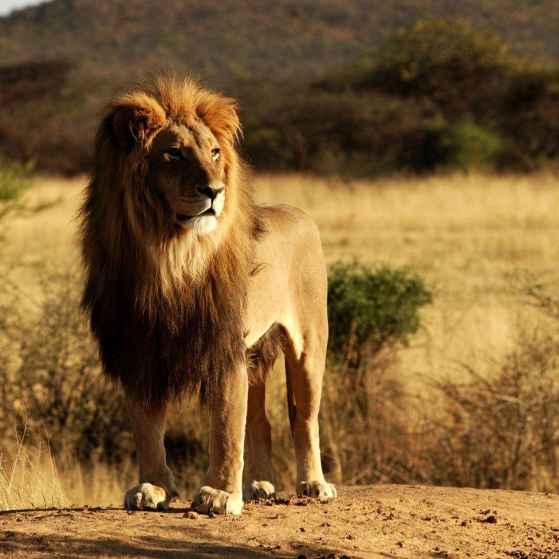 King-Lion-Wide-Wallpaper