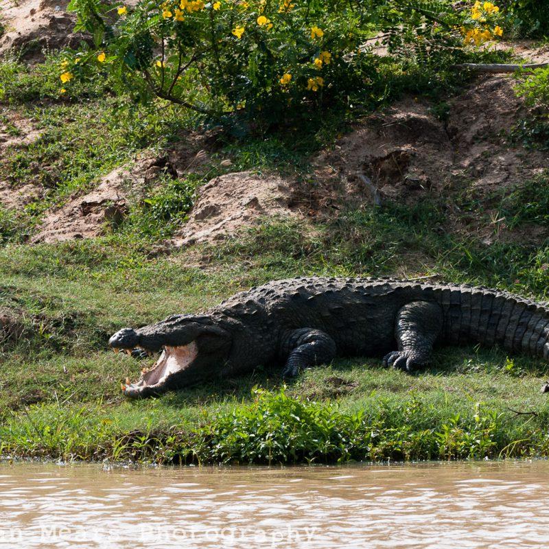 Sri Lanka Crocodile mouth open yala
