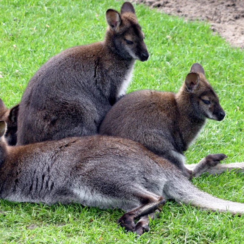 bennet_wallaby_r_1920x1080