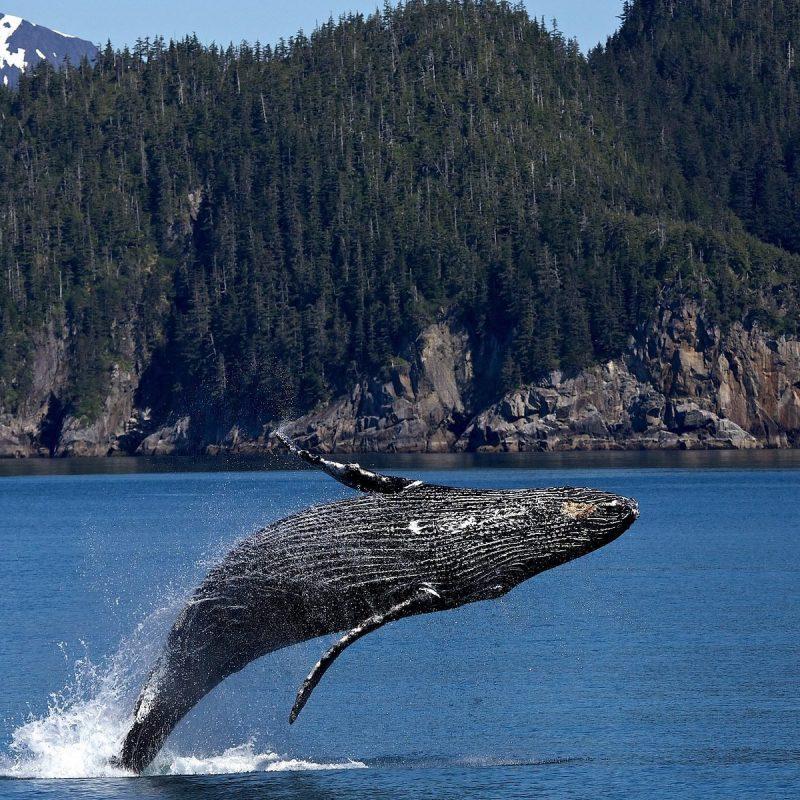 humpback-whale-1984341_1920-1920x1200