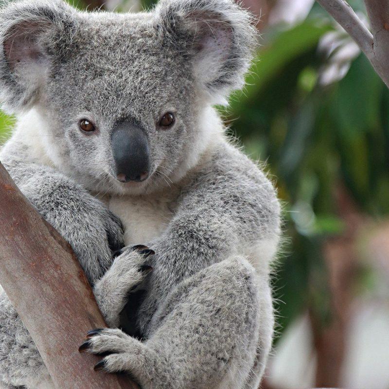 koala_15