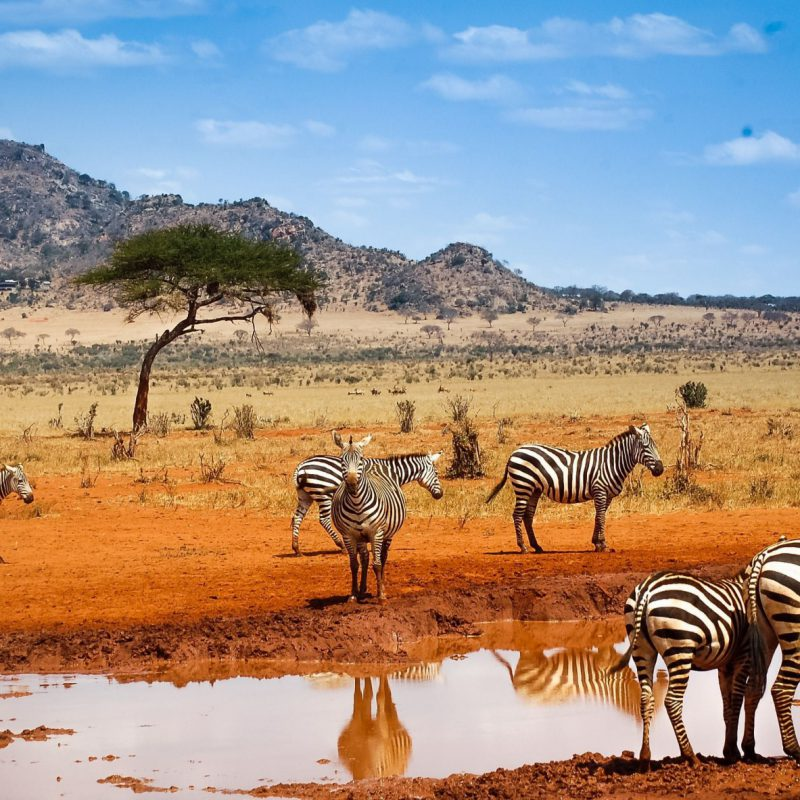 zebras,-charco,-colina,-safari-257822
