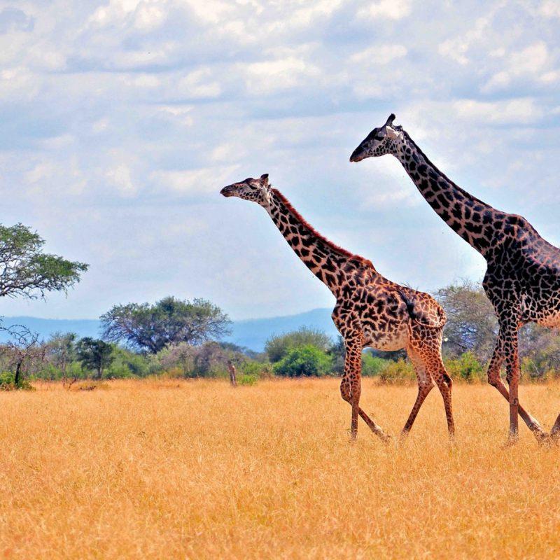 zebras-in-african-safari-2K-wallpaper